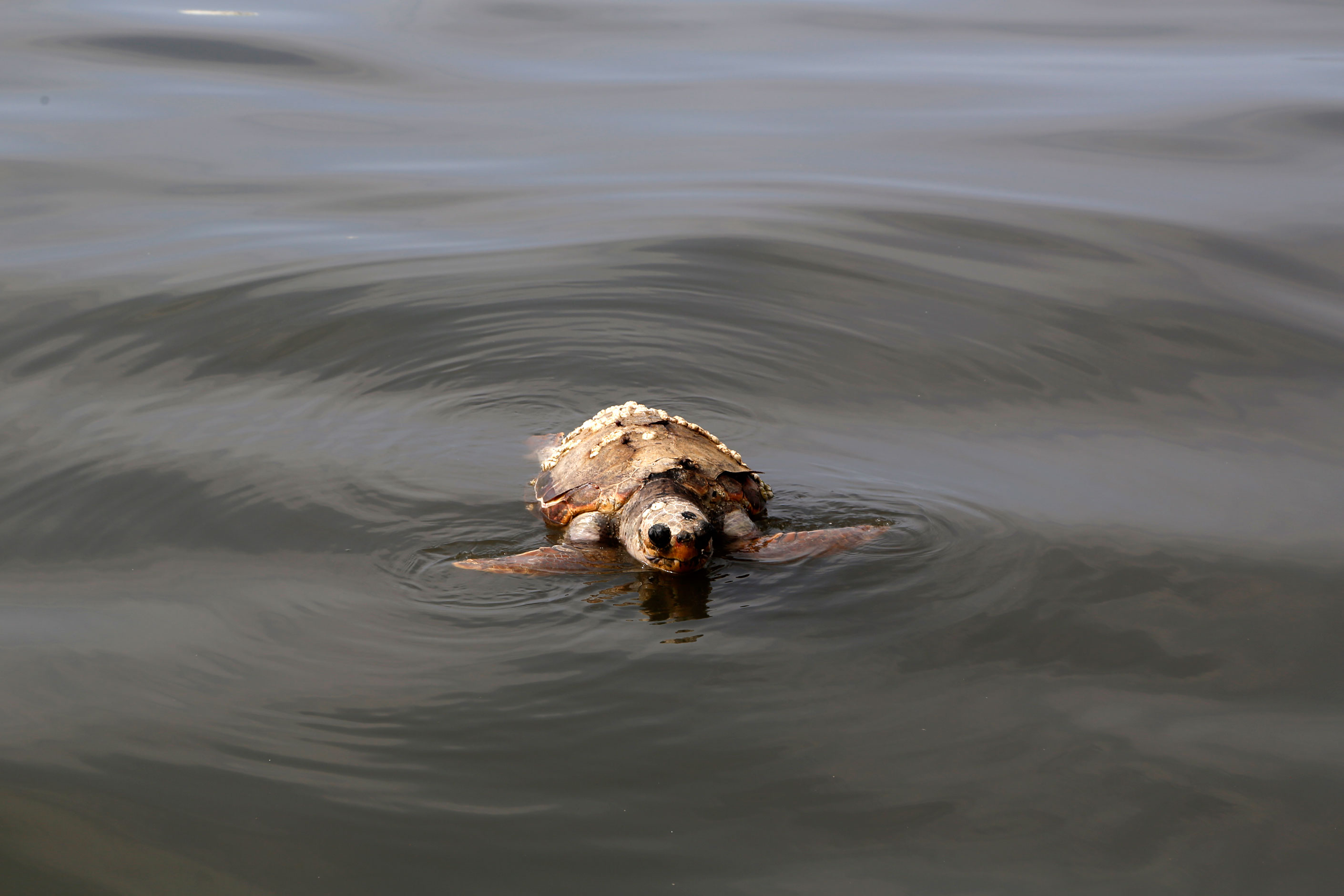 A dead sea turtle floating in the water near the Bourj Hammoud landfill and dumping site.