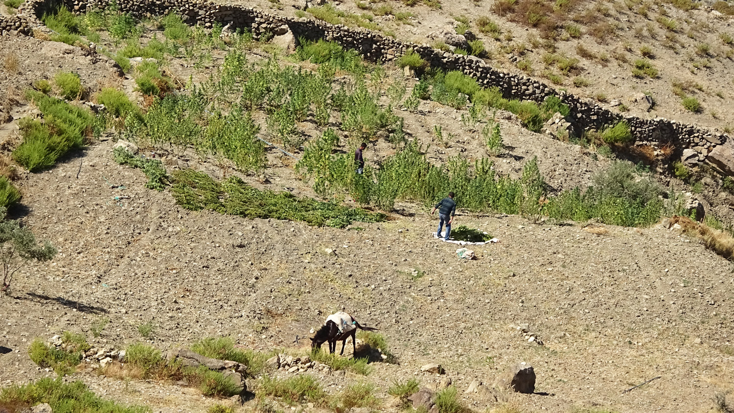 Farmers harvest a crop of marijuana. The plant provides income for a huge number of workers and families in the Rif.